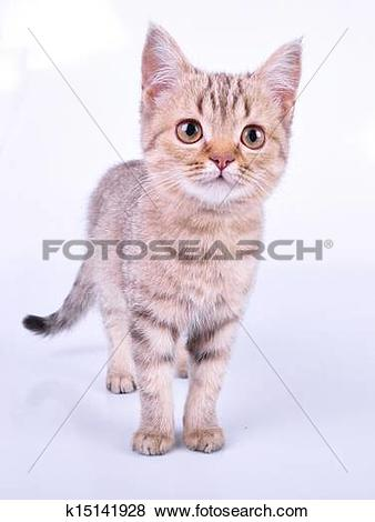 Pictures of small Scottish straight kitten walking towards.