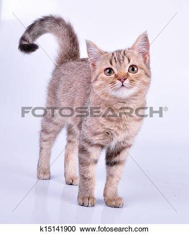 Stock Photography of small Scottish straight kitten walking.