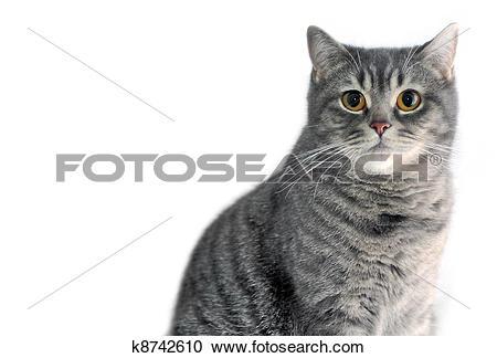 Stock Photography of Gray tabby cat. Scottish straight. k8742610.