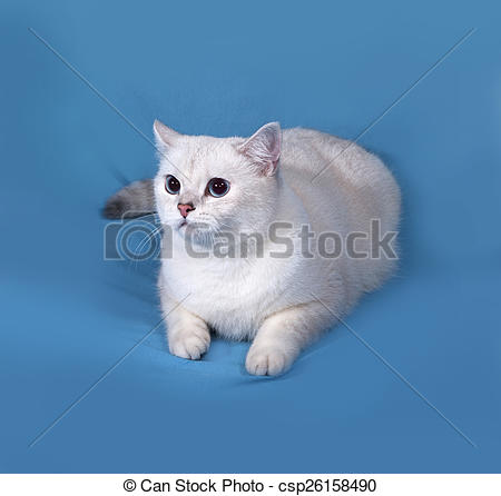 Stock Photographs of White Cat Scottish Straight lies on blue.