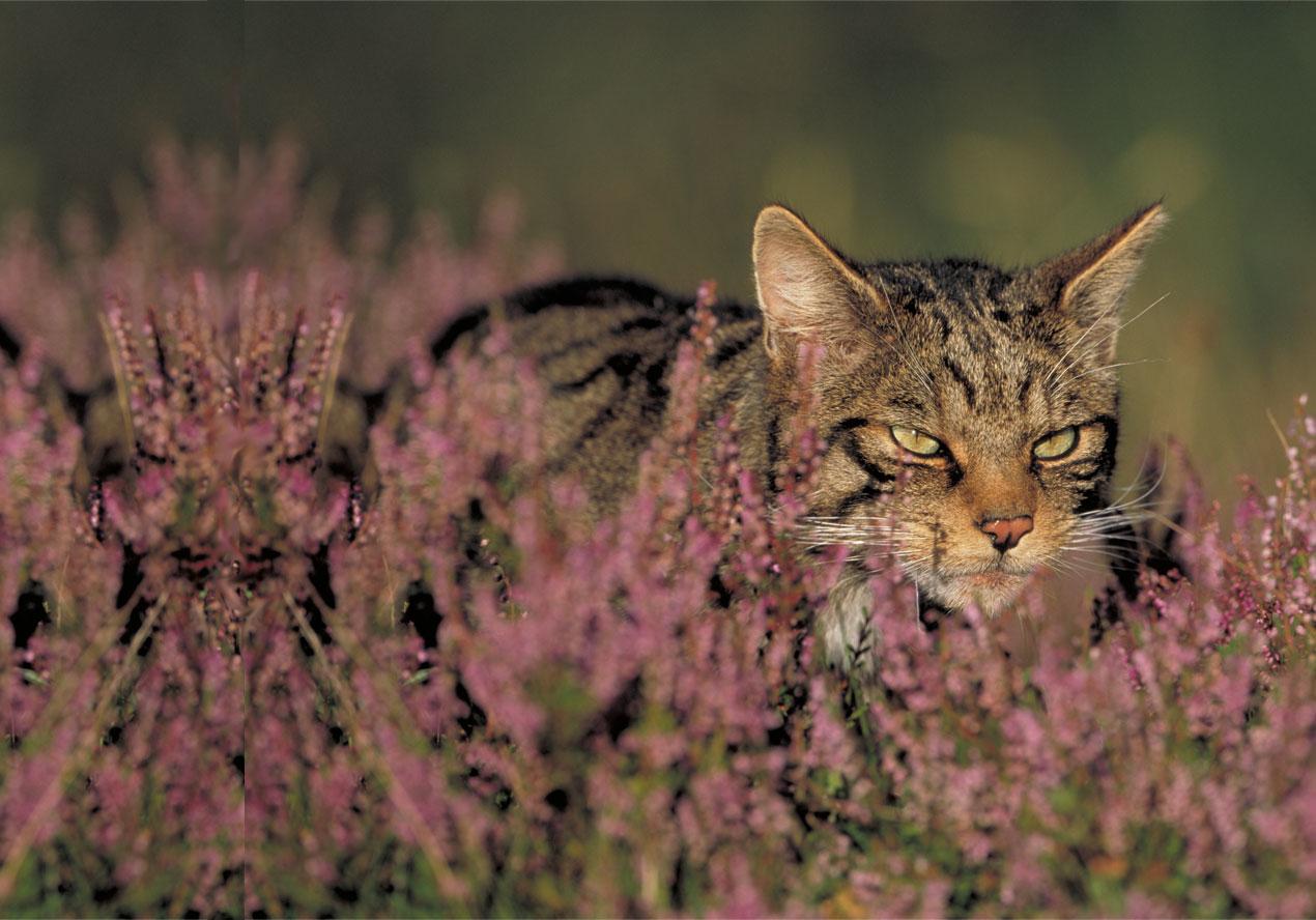 Scottish Wildcat Action.