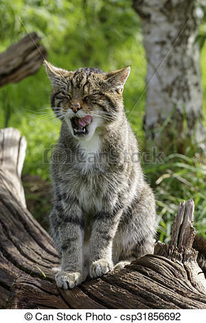 Stock Photographs of Scottish Wildcat (Felis silvestris) prowling.