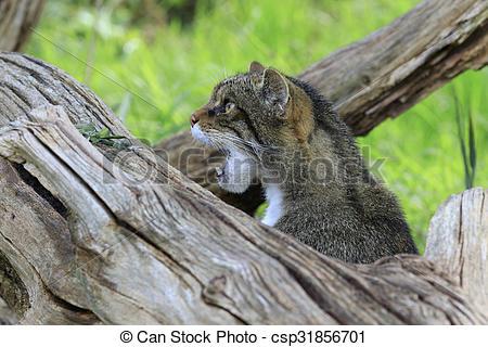 Stock Photography of Scottish Wildcat (Felis silvestris) prowling.