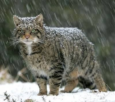 1000+ images about Scottish wildcat on Pinterest.