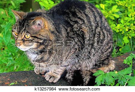 Stock Photo of Scottish Wildcat k13257984.