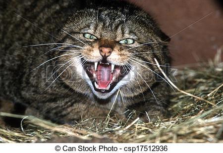 Stock Photos of Scottish wildcat, Felis silvestris, single mammal.