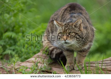 Wildcat Stock Photos, Royalty.