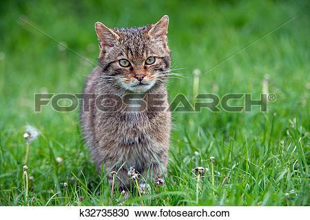 Stock Photography of Scottish Wildcat k32735830.