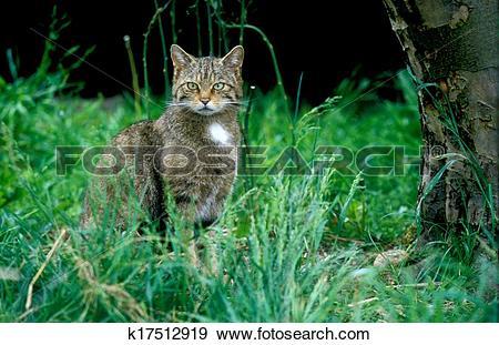 Stock Photograph of Scottish wildcat, Felis silvestris k17512919.