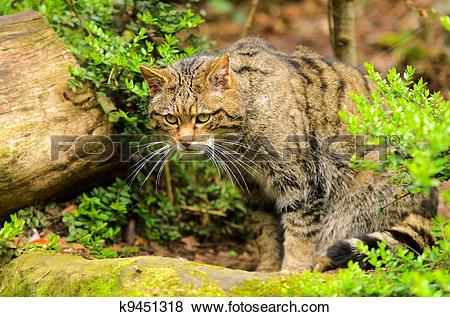 Pictures of Scottish Wildcat k9451318.