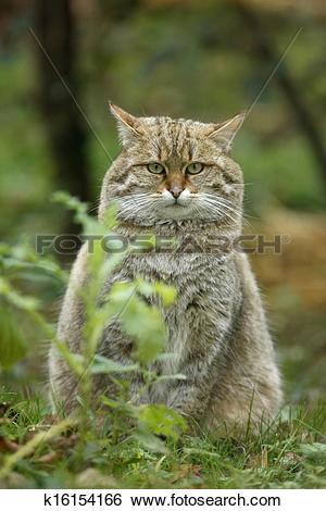 Stock Images of Scottish wildcat, Felis silvestris k16154166.