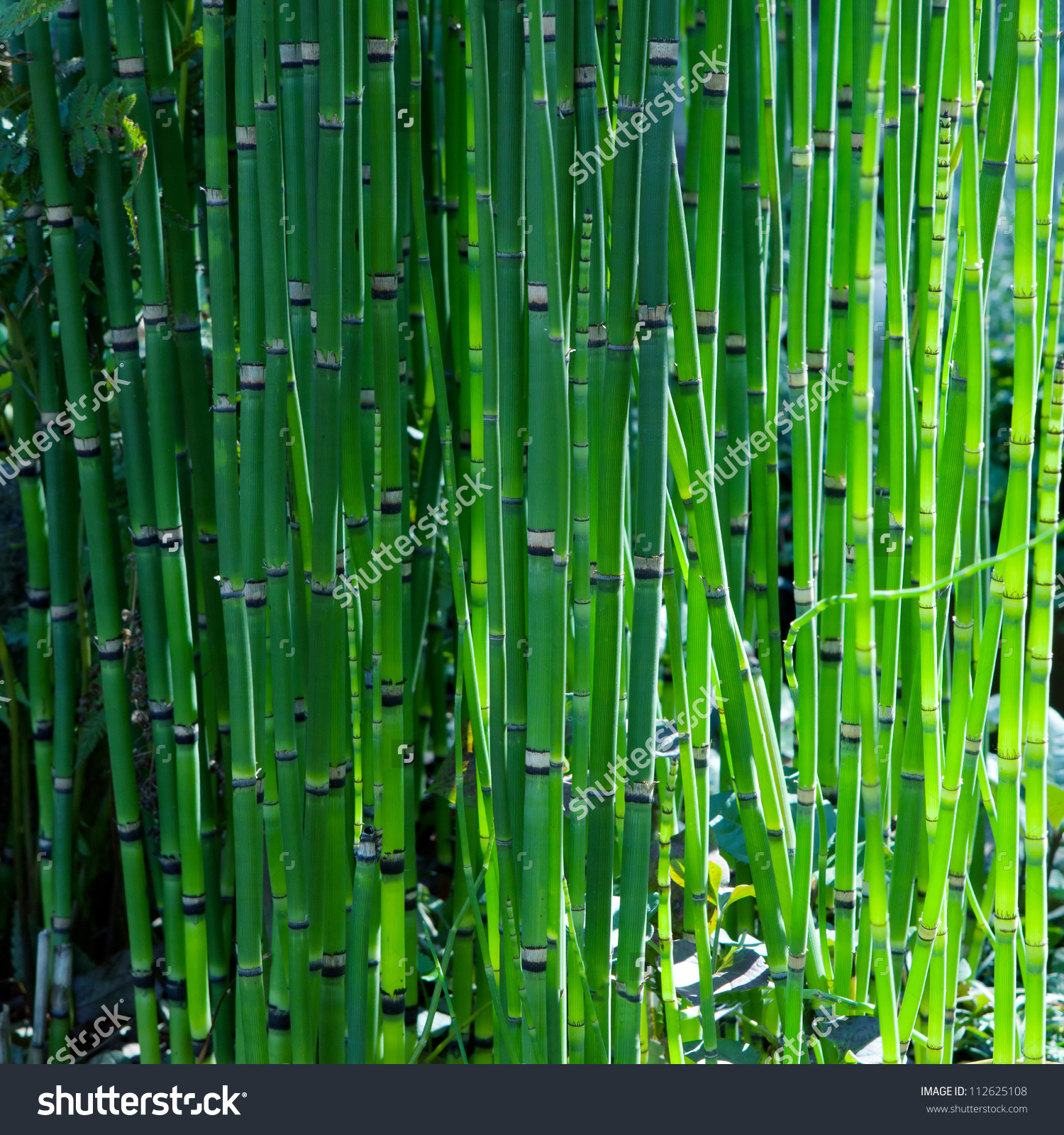 Bamboo Like Looking Rough Horse Tail Stock Photo 112625108.
