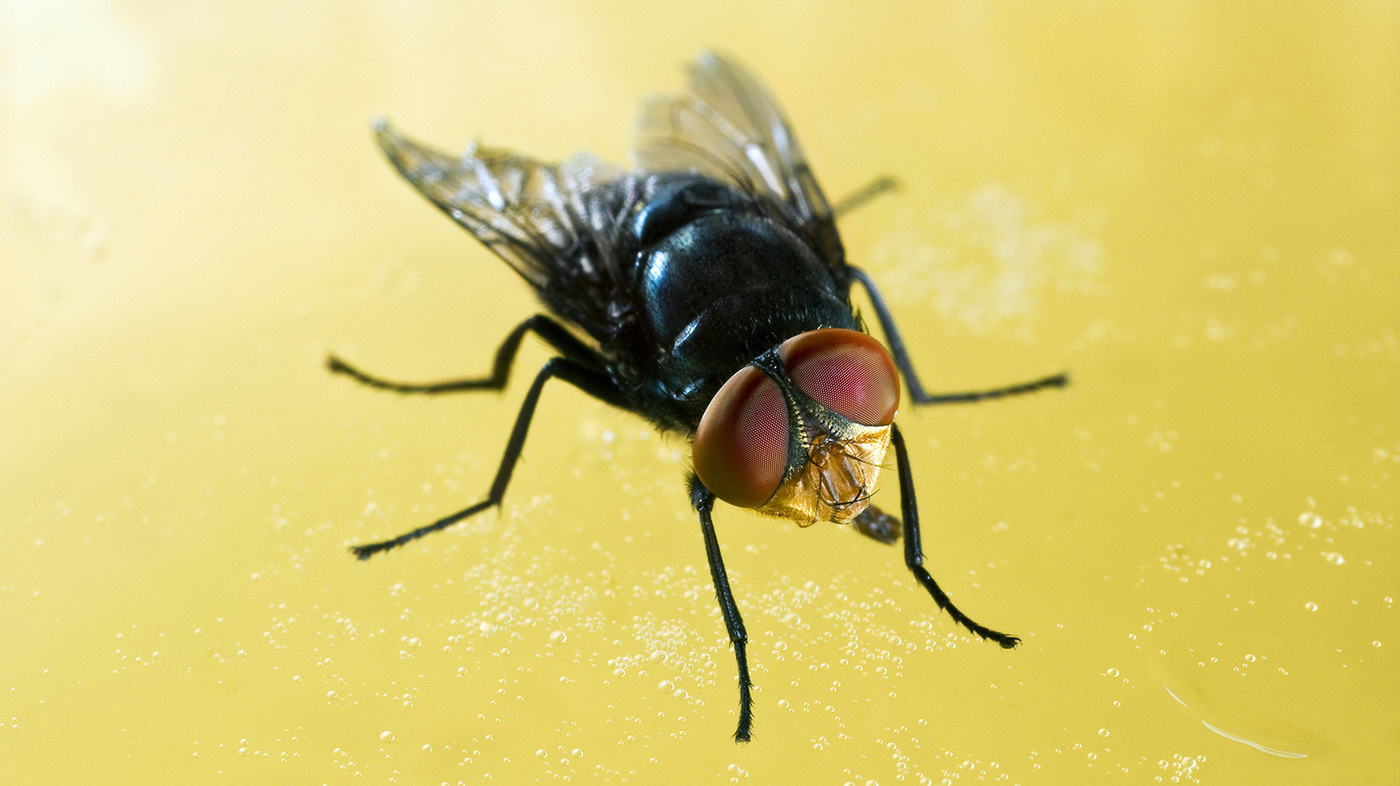How The Sex Life Of The Screwworm Fly Saved Your Steaks — And.