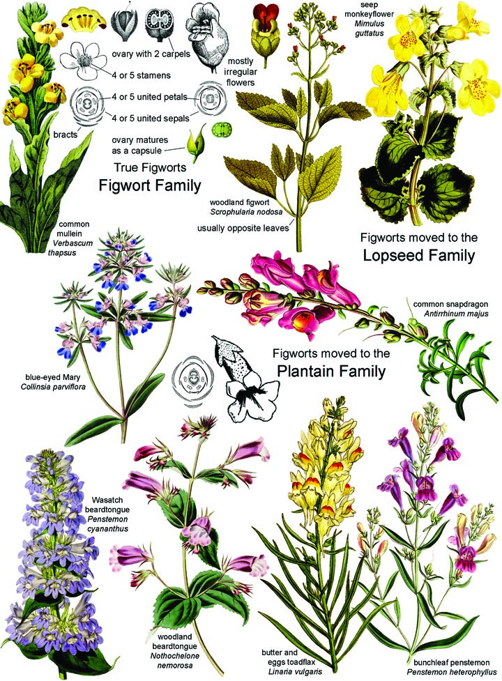 Botany in a Day (APG): The Patterns Method of Plant Identification.