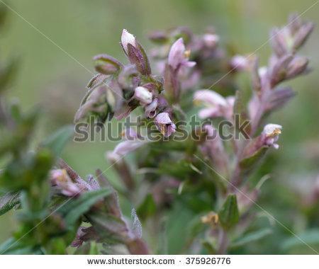 Scrophulariaceae Family Stock Photos, Royalty.