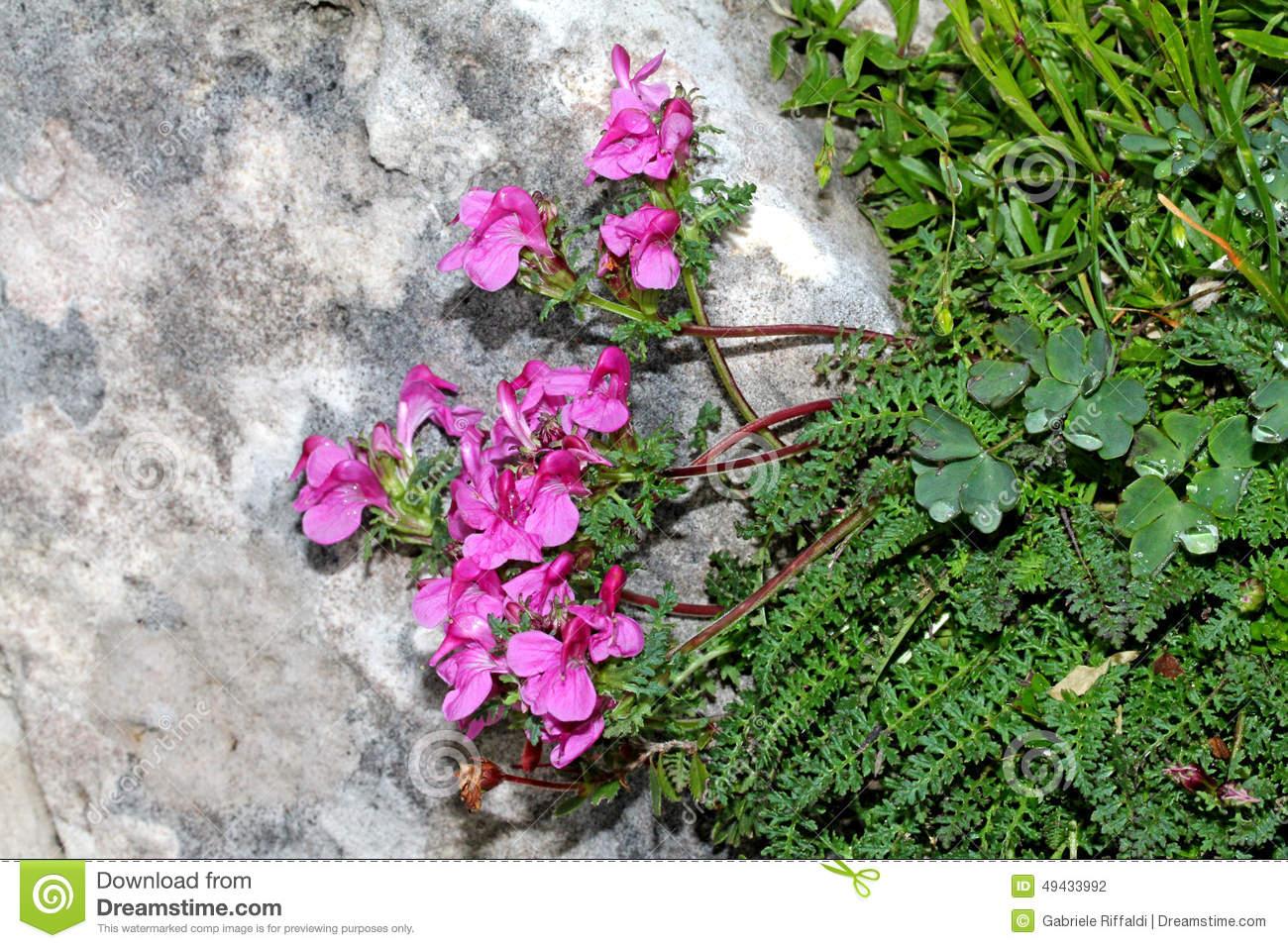 Strange Pink Flowers (pedicularis Rostrato.