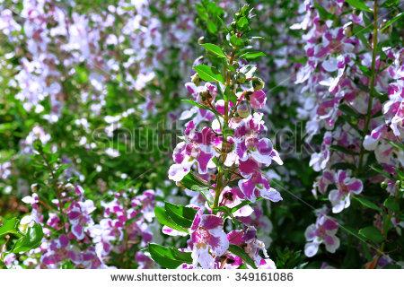 Scrophulariaceae Banco de Imagens, Fotos e Vetores livres de.