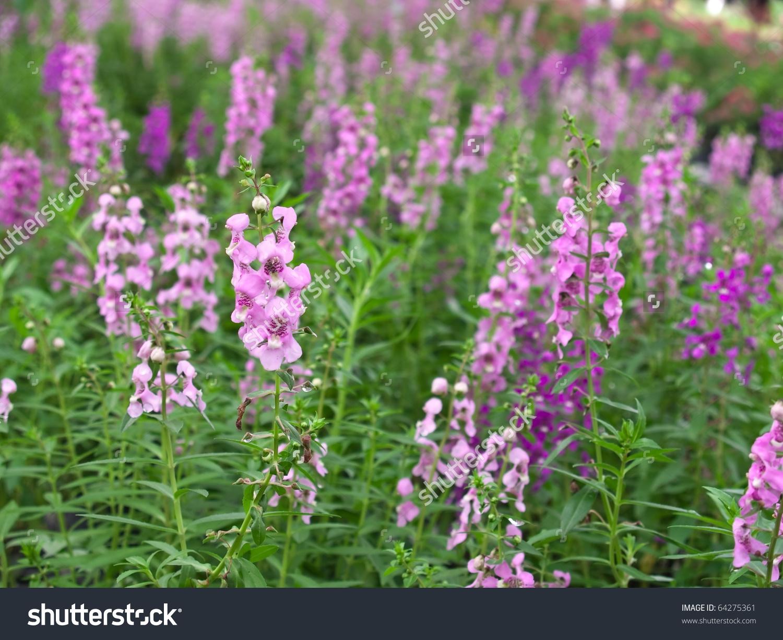 Beautiful Field Angelonia Goyazensis Flower Family Stock Photo.