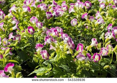Scrophulariaceae Stock Photos, Royalty.