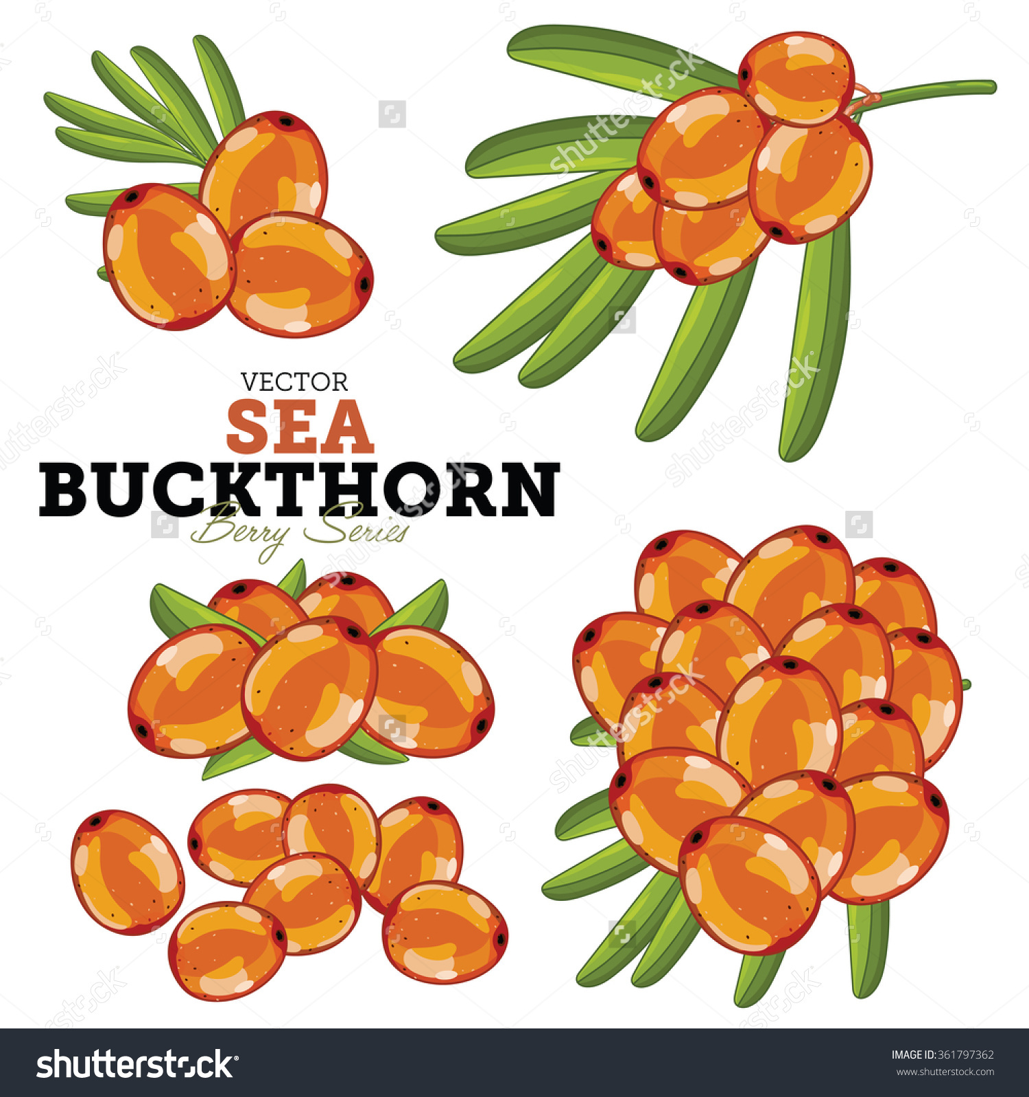 Sea Buckthorn Vector Isolated On White Stock Vector 361797362.