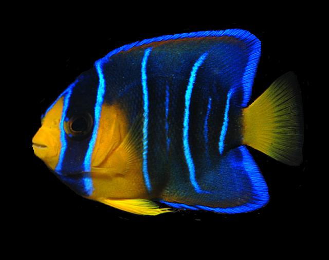 Ocean Fish PNG Transparent Clipart Image #34.