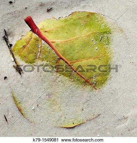 Stock Photography of Close up of sea grape leaf on the beach k79.