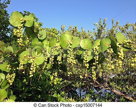 Stock Photo of Sea grape tree with green fruit.