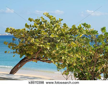 Pictures of Sea Grape Tree Grand Cayman Beach k8970398.