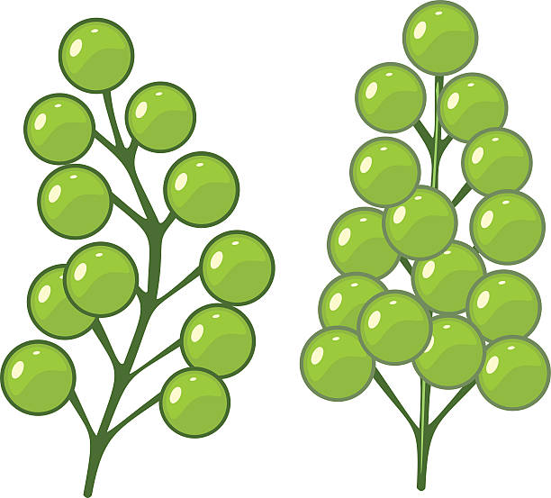 Green Alga Caulerpa Lentillifera Sea Grapes Clip Art, Vector.