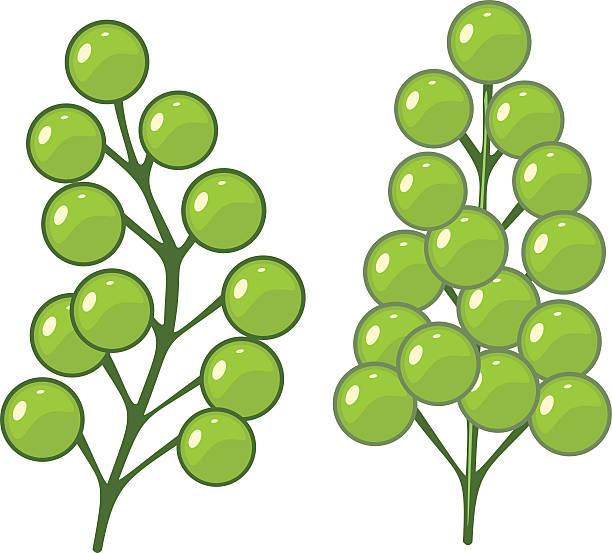 Green Alga Caulerpa Lentillifera Sea Grapes Clip Art, Vector.