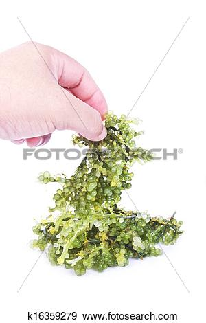 Stock Photograph of Oval sea grapes seaweed k16359279.