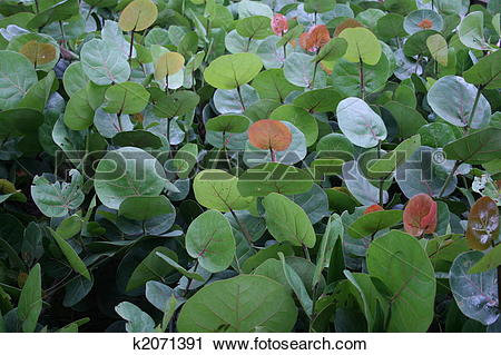 Stock Photography of Sea grapes k2071391.
