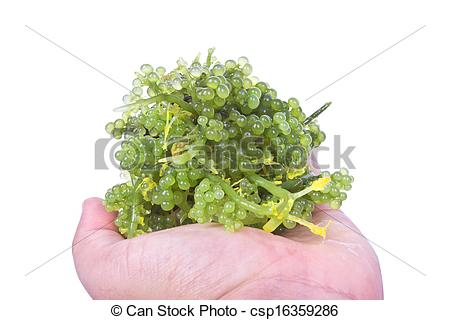 Pictures of Oval sea grapes seaweed.