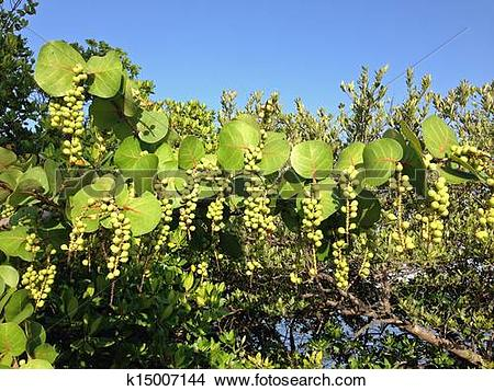 Stock Photo of Sea grape tree with green fruit k15007144.