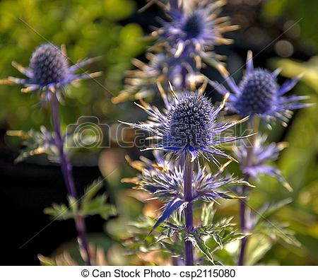 Stock Photography of Blue Sea Holly Plant.
