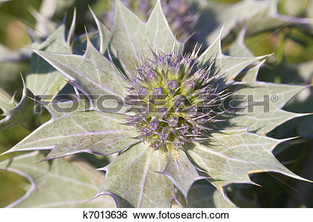 Stock Images of Sea holly k7013636.
