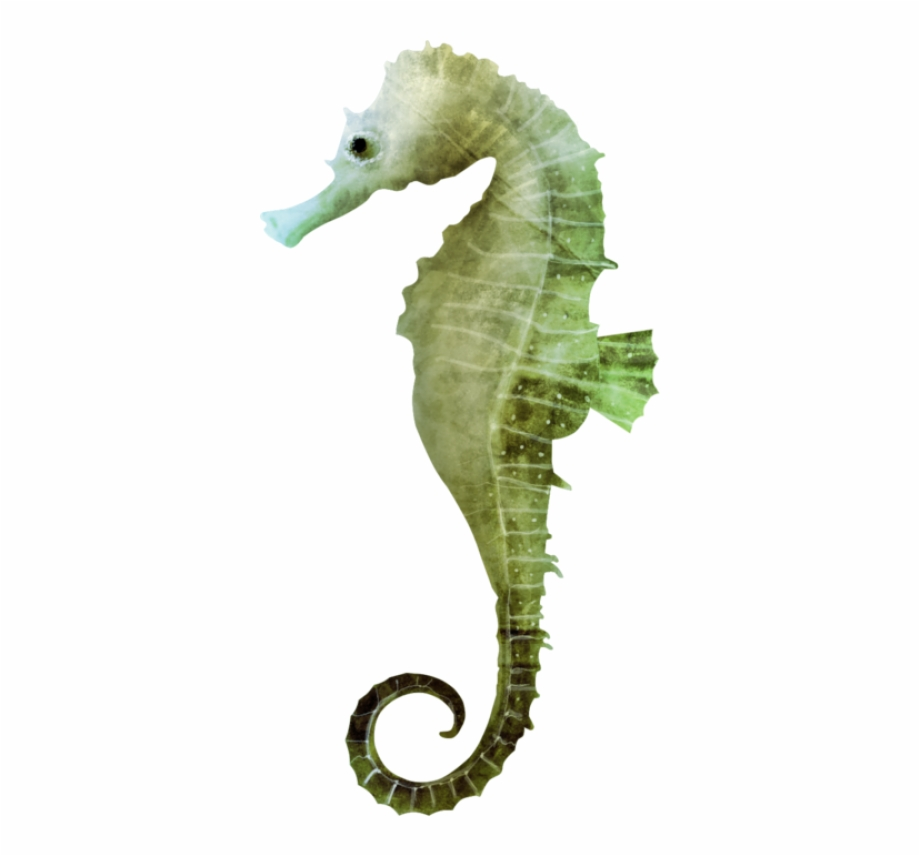 Seahorse Png, Download Png Image With Transparent Background.