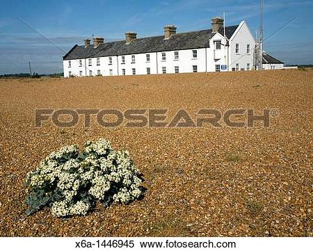 Stock Image of Sea kale flowering near Coastguard Cottages.