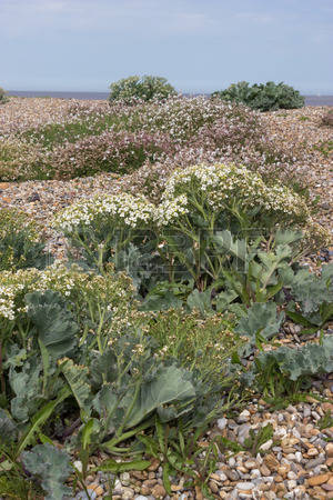Sea Kale Stock Photos, Pictures, Royalty Free Sea Kale Images And.