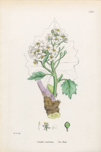 Sea Kale Clip Art, Vector Images & Illustrations.