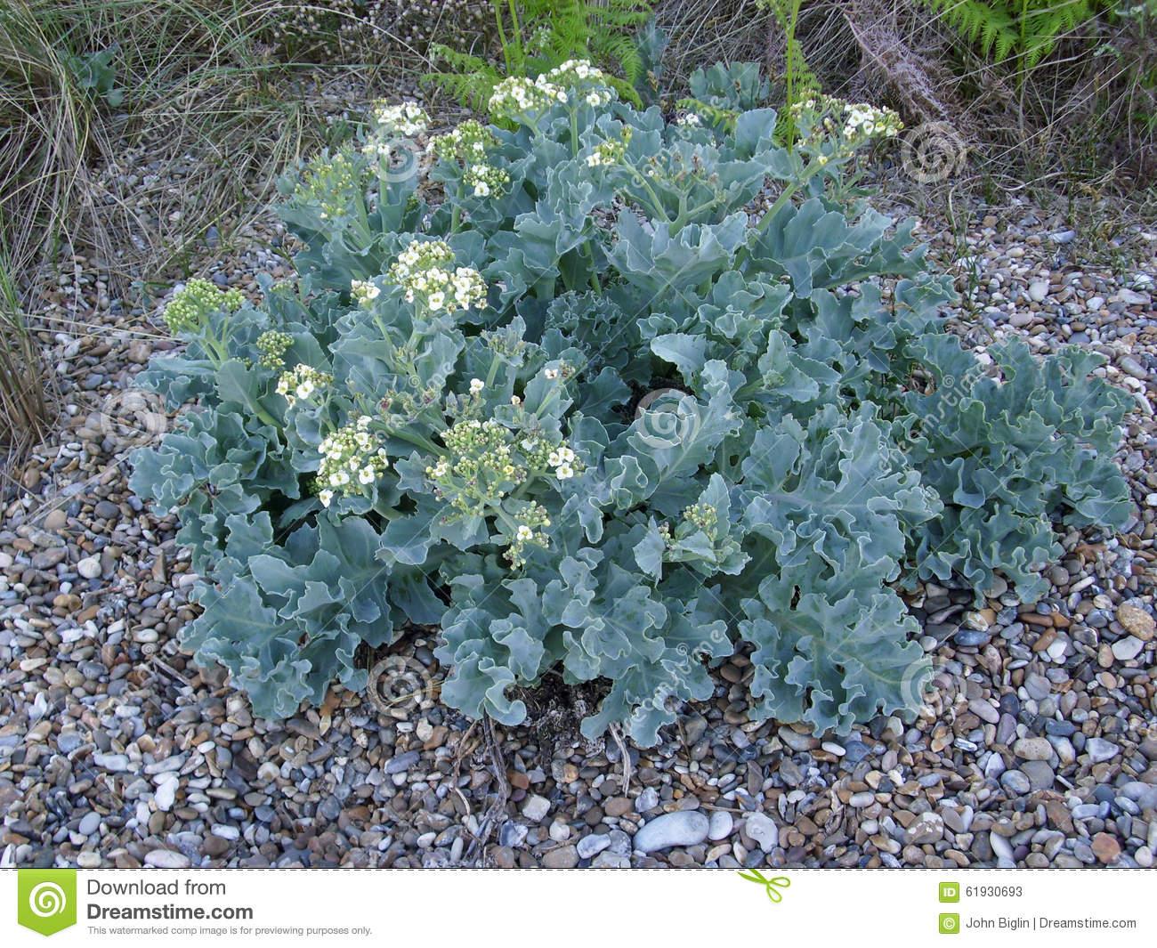 Flowering Sea Kale Stock Photo.