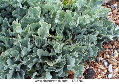 Sea Kale Stock Photos, Royalty.
