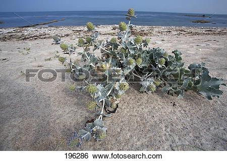 Stock Images of Sea Holly (Eryngium maritimum) and Sea Kale.