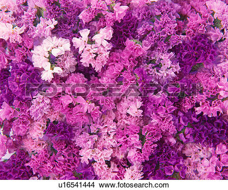 Stock Photo of Sea lavender u16541444.