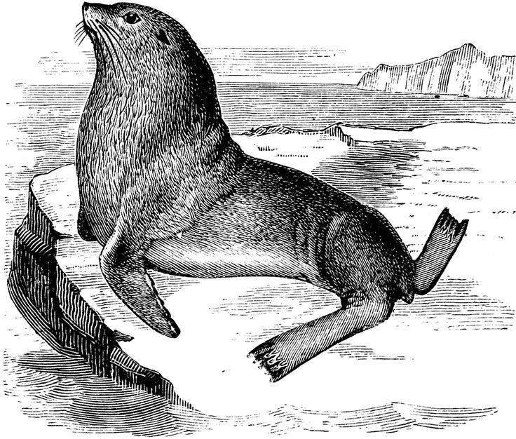 17 Best images about Sea lion images on Pinterest.