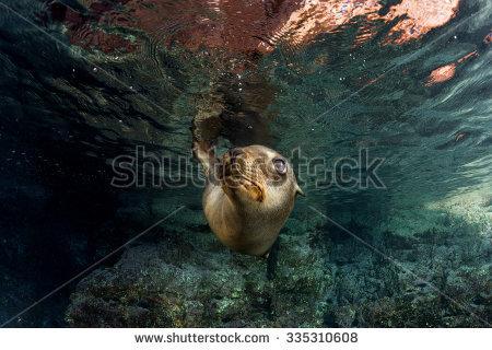 Sea Lion Underwater Stock Photos, Royalty.