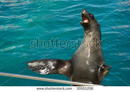 Sea Lion Clapping Stock Photo 30551206.