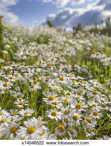 Stock Photo of Field of Sea Mayweed in full bloom x14546522.