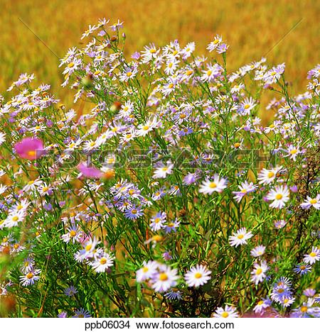 Stock Photo of wild flower, flower, wild camomile, day, flower.