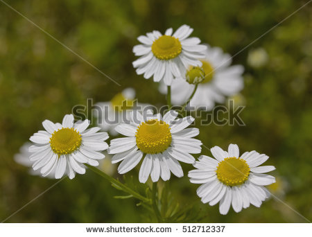Beautiful Daisy Flowers Stock Photo 108679376.